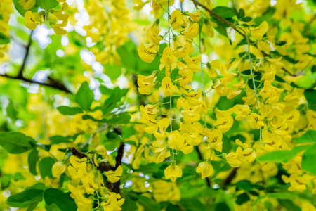 blossoming yellow flower tree: yellow flowers of a laburnum in full spring bloom