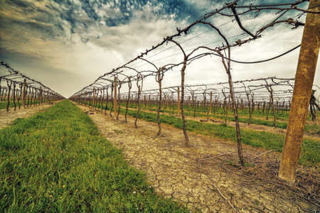 directed: Leafless vineyards in rows that are directed toward the infinite horizon