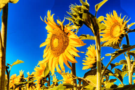 sunflower fields - the arrival of summer is announced by the bright yellow of Helianthus annuus,flower symbol of sun and heat