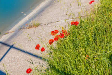 reach out: red poppies seem to reach out to the water of the irrigation canal