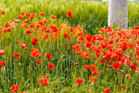 outdoor electricity: flower bed of poppies at the foot of an electricity pole in a cornfield