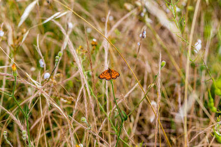 lycaena: butterfly with orange wings resting on a blade of grass