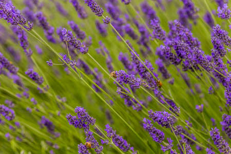 pollinate: busy bees pollinate the flowers of a lavender field