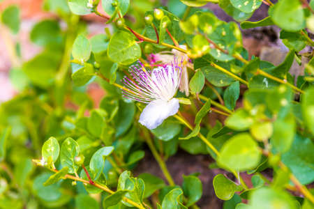 caper: flowers and buds of  thorny caper plant, growing on Roman walls of an ancient medieval fortress