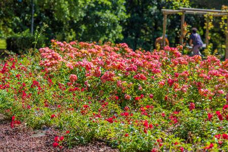 rosas naranjas: macizo de flores de rosas rojas y anaranjadas