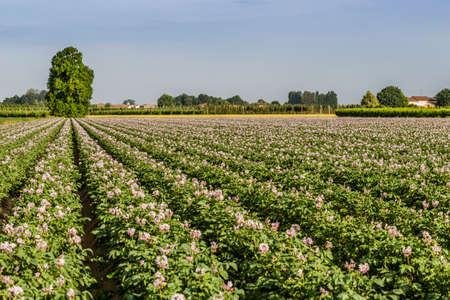potato tree: potato fields in bloom