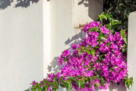 bracts: fuchsia and purple bracts of bougainvillea glabra