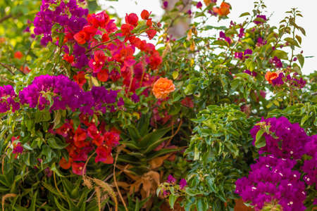 bracts: Red, purple, fuchsia and orange bracts of bougainvillea glabra surrounding an orange rose Stock Photo