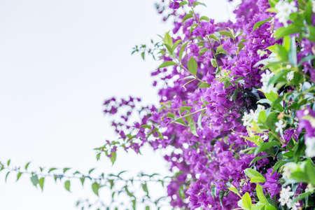 fuchsia: fuchsia and purple bracts of bougainvillea glabra