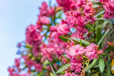 oleander: red and pink oleander flowers