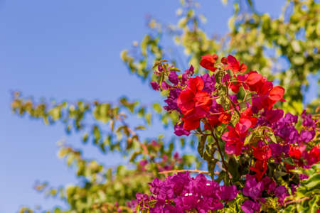 bracts: Red, purple, fuchsia and orange bracts of bougainvillea glabra