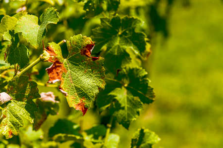 blight: the vine leaves attacked by mildew