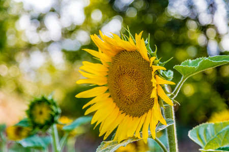 conveys: Close up of sunflower conveys a sense of sadness and loneliness