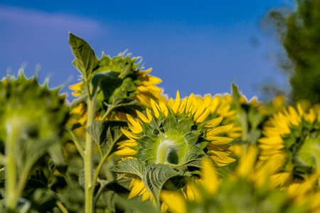 conveys: Close up of back of  sunflower conveys a sense of sadness and loneliness