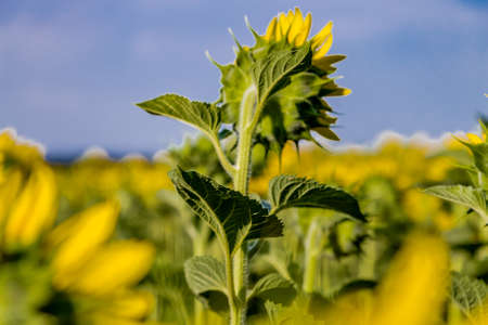 conveys: Close up of leave of  sunflower conveys a sense of sadness and loneliness