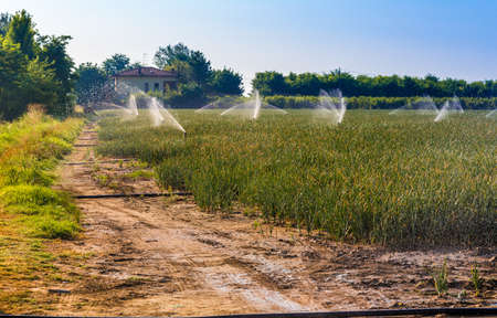 irrigating: Sprinklers irrigating cultivated green fields Stock Photo