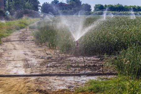sprinklers: Sprinklers irrigating cultivated green fields Stock Photo