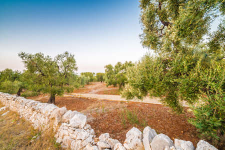 olive groves: red soil of windy Apulian olive groves Stock Photo
