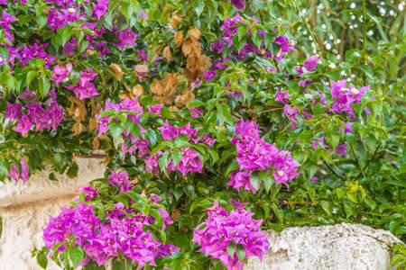 bracts: bracts of bougainvillea glabra Stock Photo