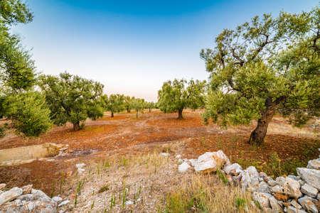 olive groves: red soil of Apulian olive groves