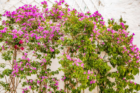 bracts: bougainvillea glabra on white wall in Italy