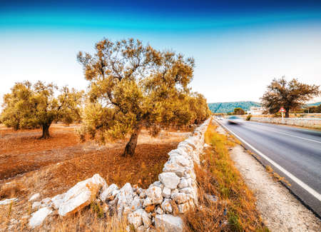 olive groves: freeway along red soil of Apulian olive groves