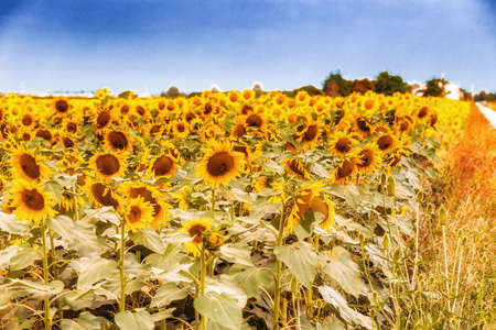 would: field of sunflowers along a country dirt road painting colors a summer morning as would an impressionist artist