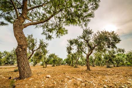 puglia: olive trees in Puglia in Italy Stock Photo