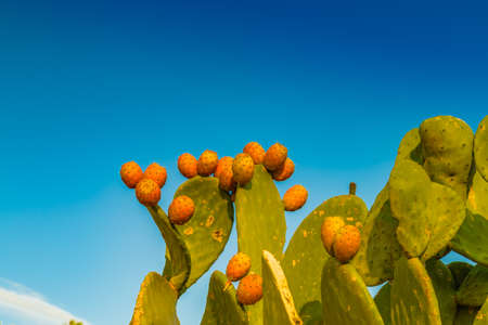 paddles: cactus paddles and prickly pears