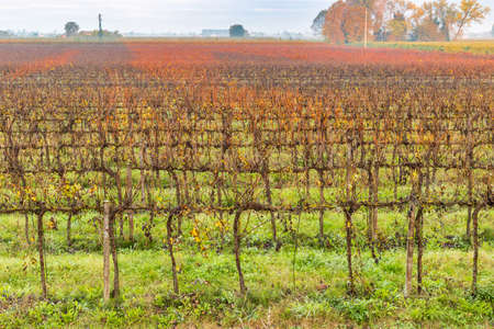 leafless: Dawn on cultivated fields in Italy, leafless vineyards in autumn