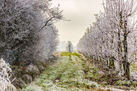 rows of trees with frozen branches in winter Stock Photo