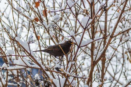 snowcovered: dark bird hidden in snow-covered bush branches
