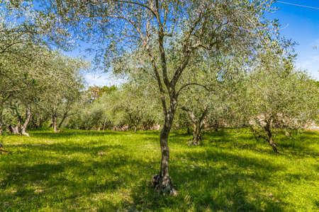 zeldzame cultuur van olijfbomen in de heuvels in Noord-Italië