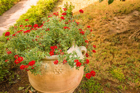 Terracotta pot with geraniums in garden