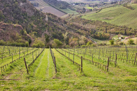 green grass under bare vines in vineyard fields Archivio Fotografico - 99740414