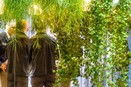 Hanging green ivies from suspended vases