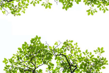 leaf border: Green Bretschneidera leaves  isolated on white background