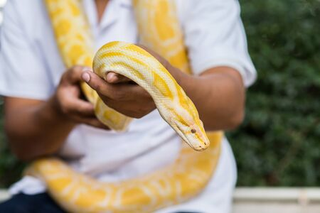 Snake - Golden python  photo