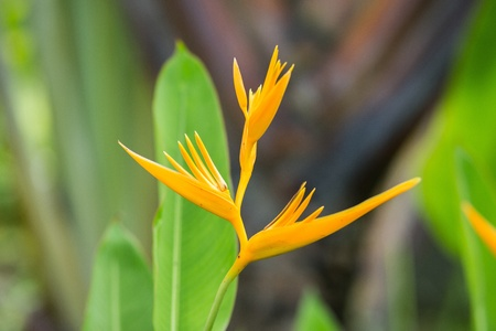 yellow bird of paradise flower  photo