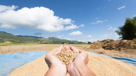 Rice seed in farmer hand against blue sky photo