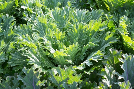 flowering kale: Green ornamental cabbage Stock Photo