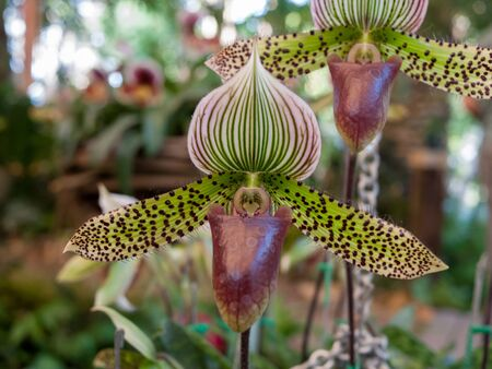 orchideae: Paphiopedilum sukhakulii