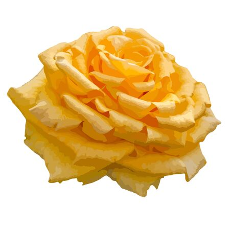 Yellow rose isolated on white background. vector format Vector