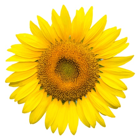 floret: Sunflower on white background background, vector format