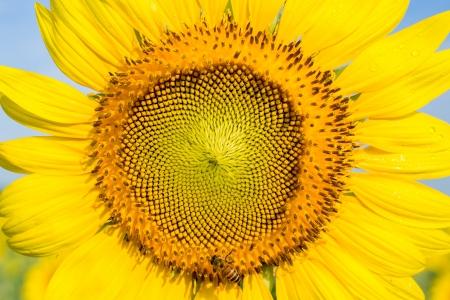 Closeup Sunflower with bee  photo