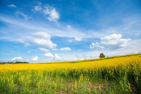 Yellow flower fields and clear blue sky background photo