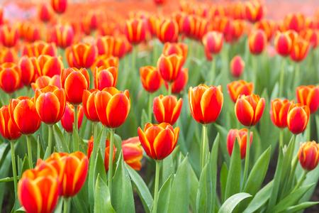 flower fields: Tulip flower fields