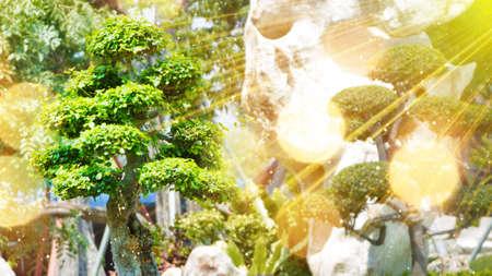 mini: bonsai tree in garden and sunrays Stock Photo