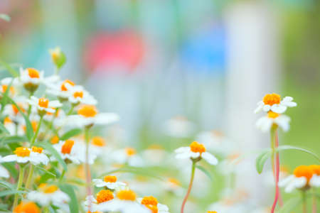 dof: camomile flowers close-up shallow DOF
