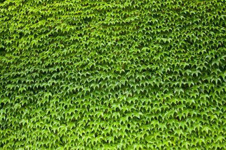 green wall: Wall covered with ivy